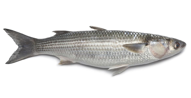 Cefalo mercato ittico chioggia chioggiapesca for Pesce rosso costo