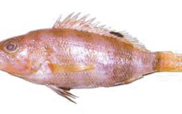 Pesce sacchetto
