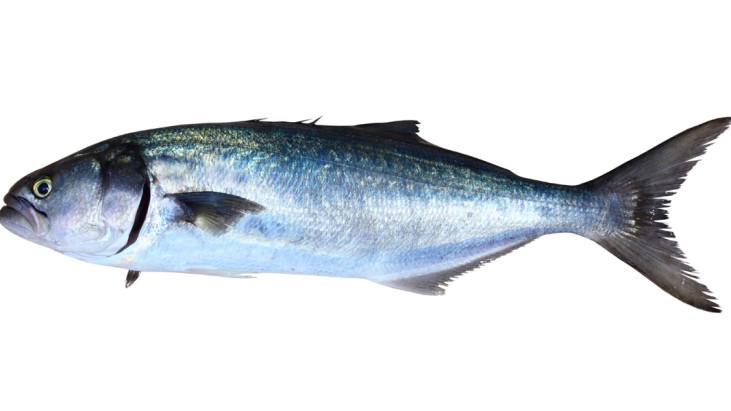 Pesce serra