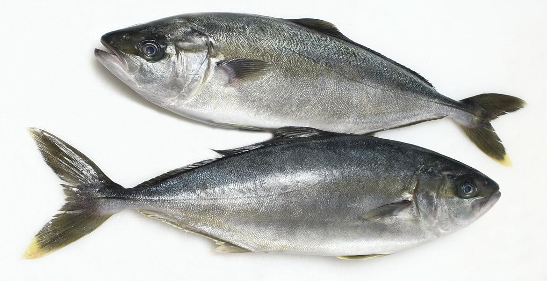 Ricciola mercato ittico chioggia chioggiapesca - Pagina di colorazione del pesce ...