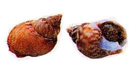 Lumache di mare o maruzzelle