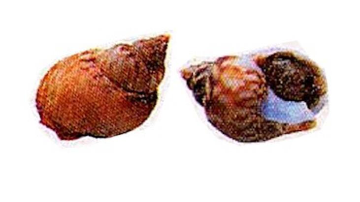 (Italiano) Lumache di mare o maruzzelle