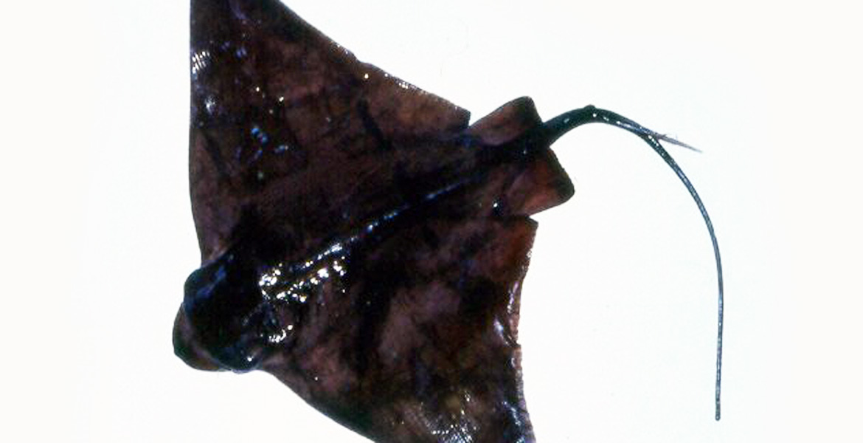 Aquila di mare mercato ittico chioggia chioggiapesca for Pesce rosso razza